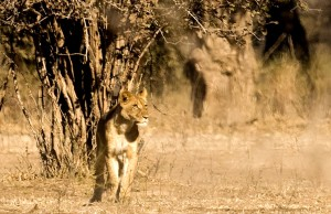 The lioness stares at the disappearing warthog. The only shot I got once the action was over in seconds.