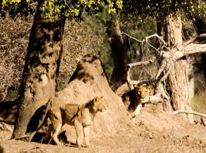Seeing the approaching hogs the lionesses take up position.